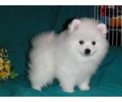 cachorros de pomerania asequibles para adopción