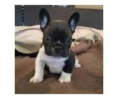 Cachorros Bulldog Francés listos para adopción