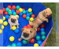 Cachorros Pug registrados !! Listo ahora !!